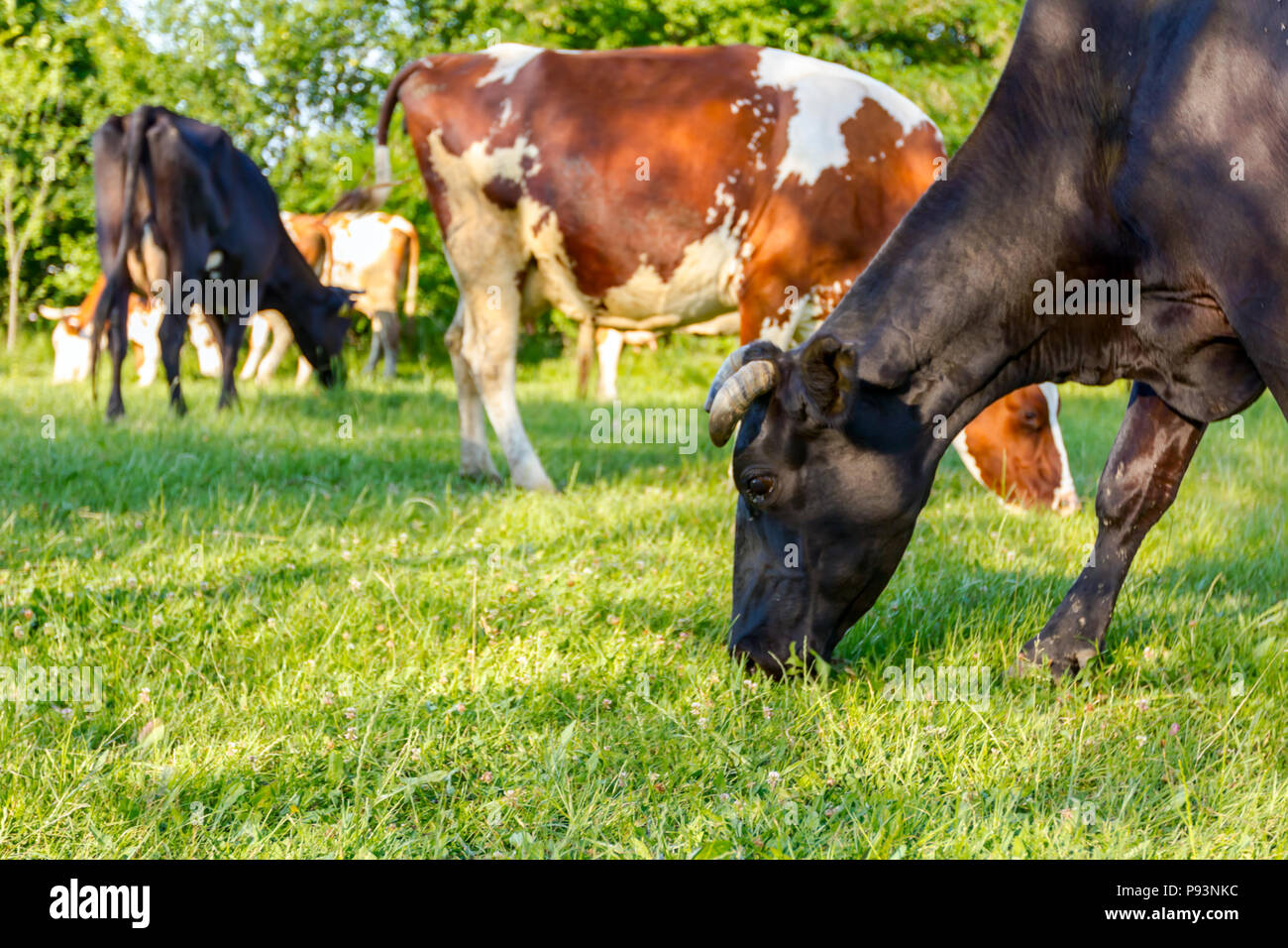 Herd of domestic bloodstock cows are grazing grass in rural village. - Stock Image