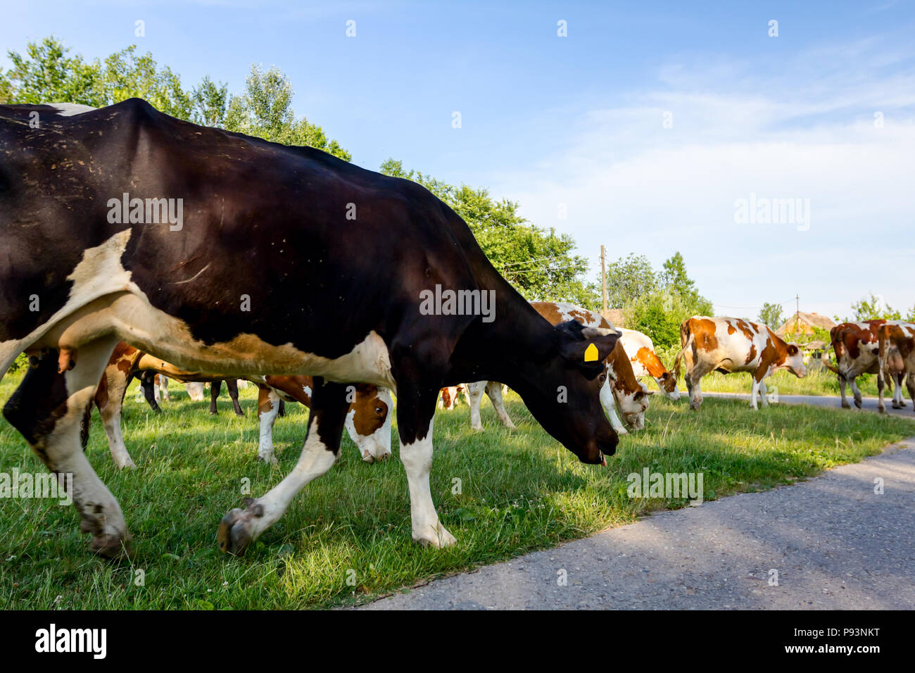 Two shepherds are driving a herd of bloodstock domestic cows home to the barn after pasture on asphalt road in village. - Stock Image