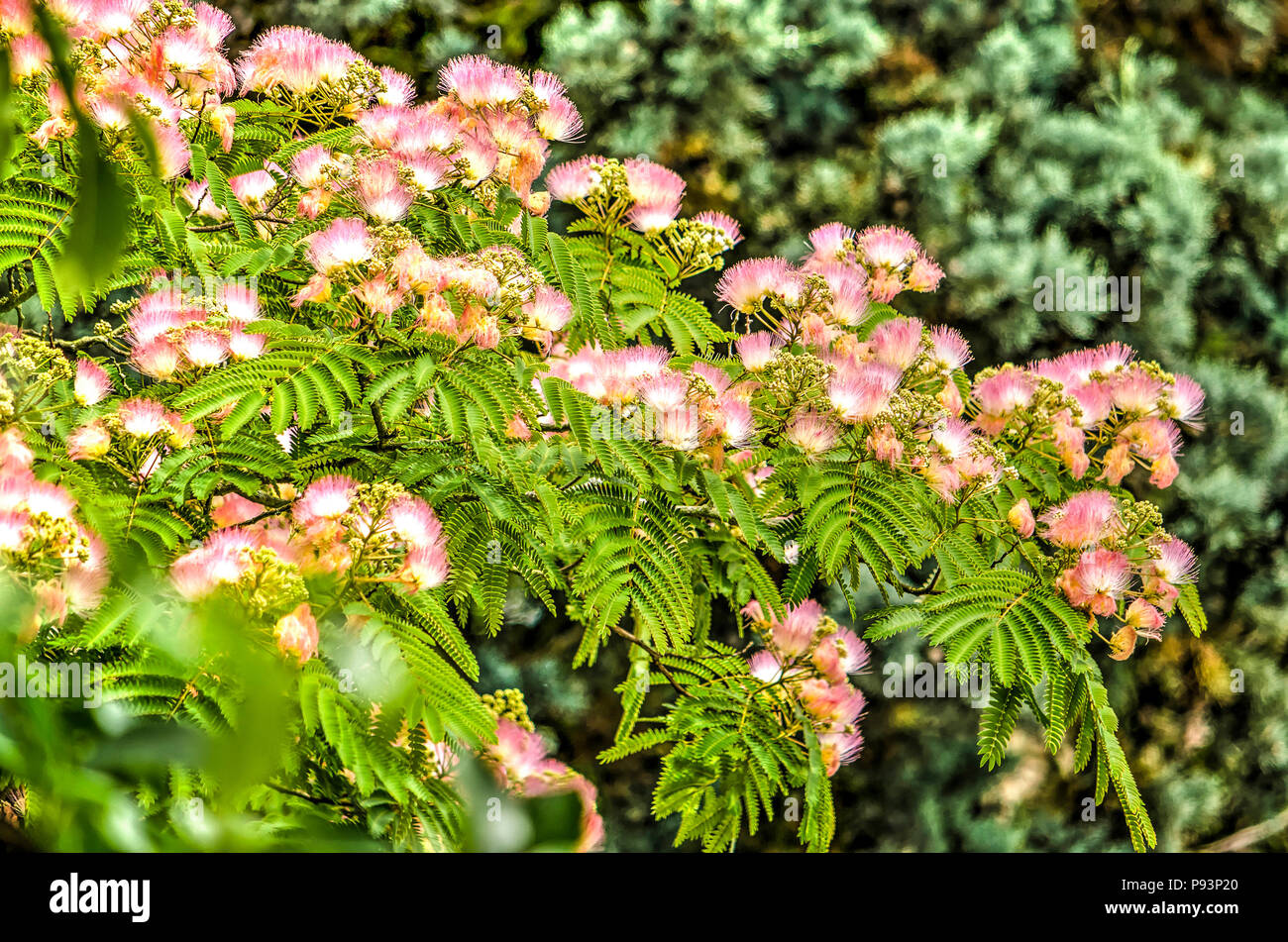 Several branches of an albizia julibrissin or persian silkk tree several branches of an albizia julibrissin or persian silkk tree with its characteristic pink fluffy flowers mightylinksfo