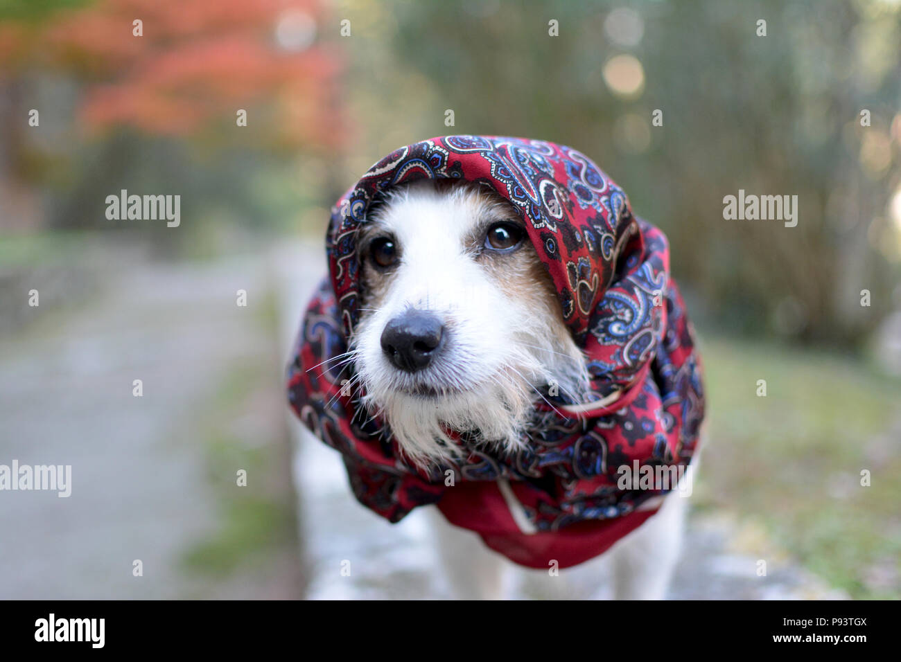 FASHIONABLE JACK RUSSELL DOG WEARING A RED HANDKERCHIEF ON HIS HEAD