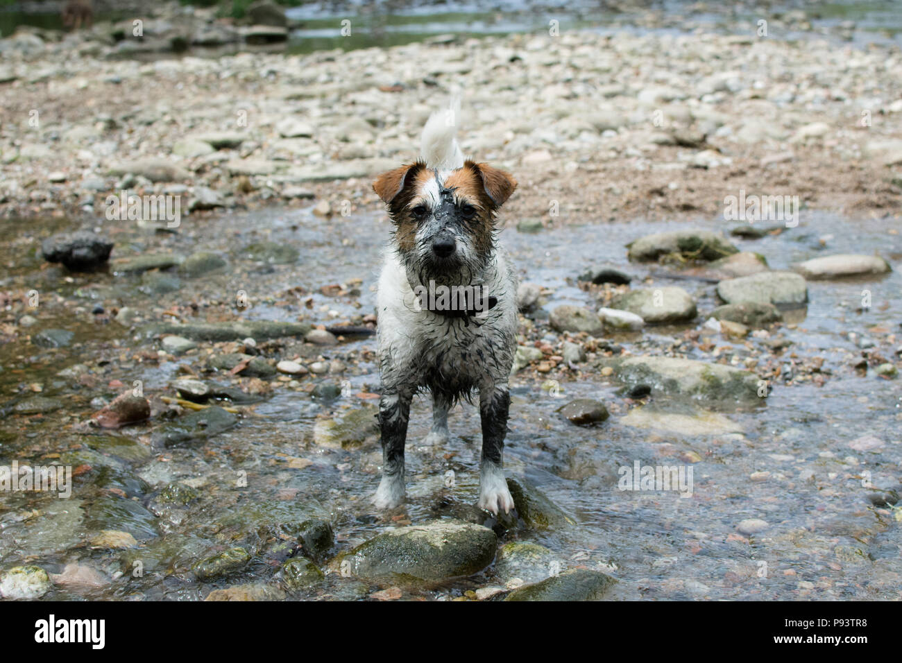 Funny Muddy Dirty Dog In A Natural River Background Stock Photo