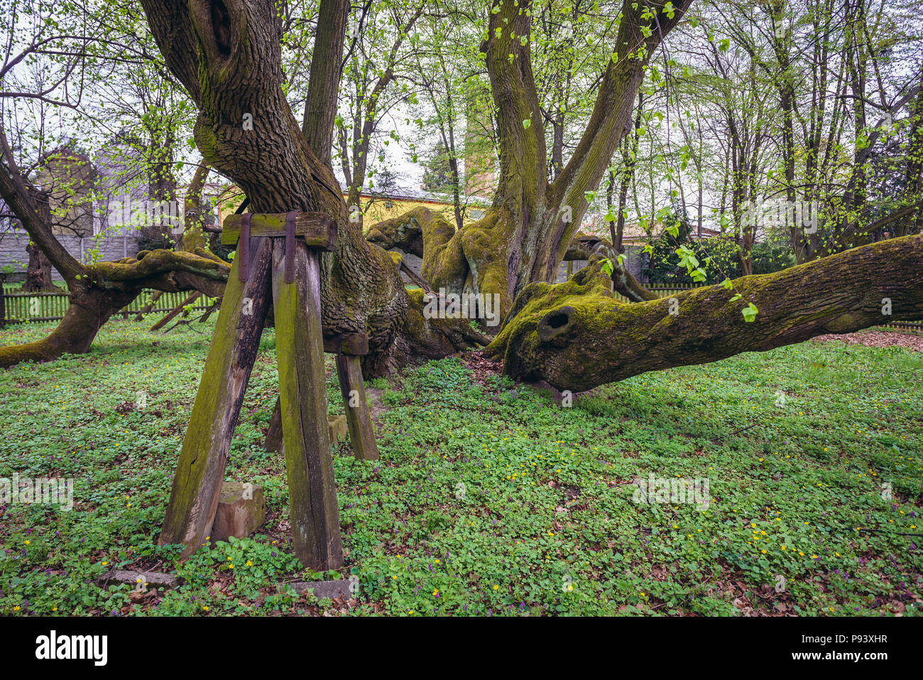 Old lime tree, estimated at more than 900 years in park of castle in Bzenec town in Czech Republic Stock Photo