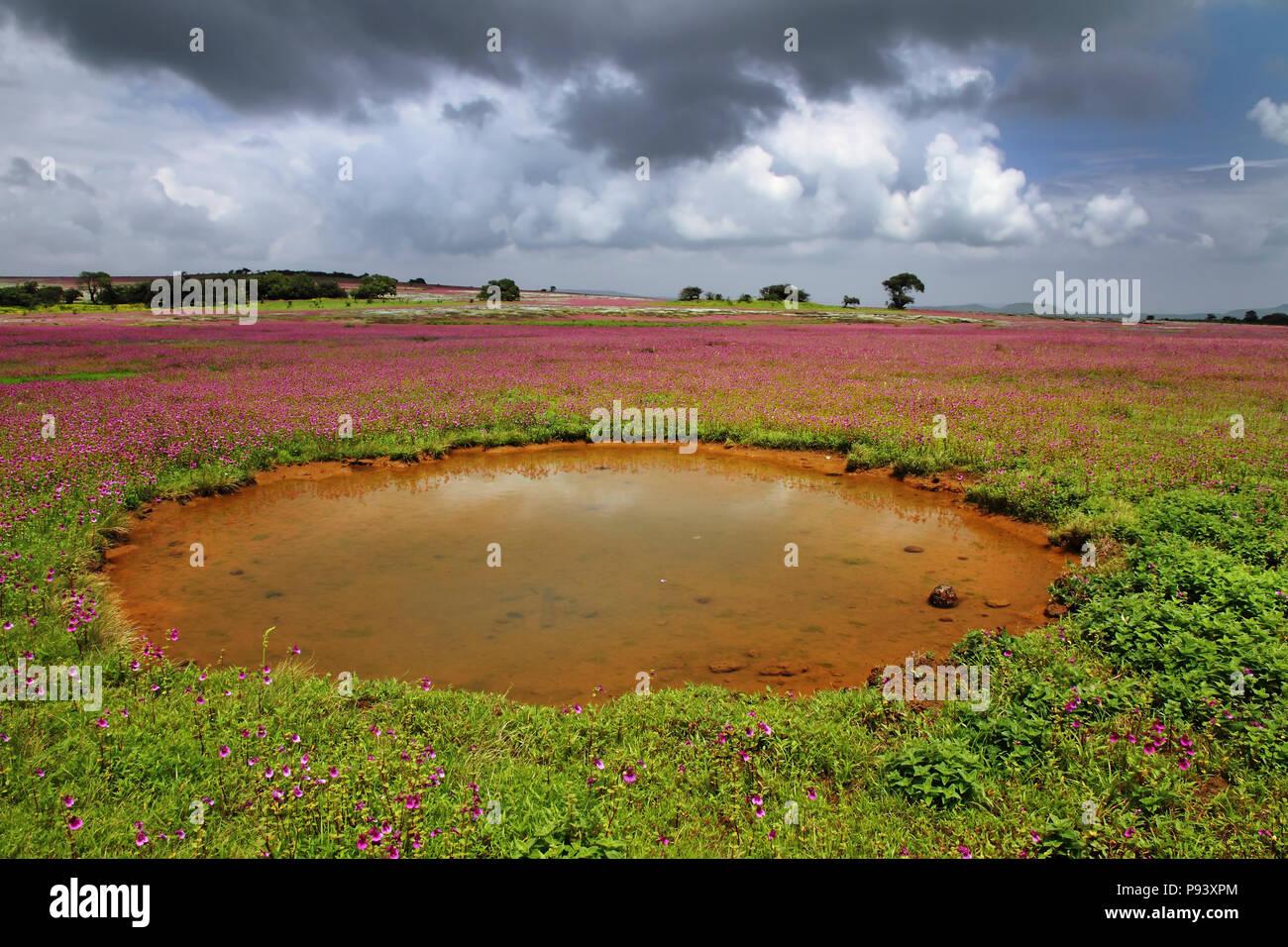 Kaas plateau of flowers in Satara district Western Ghats Maharastra, India - Stock Image