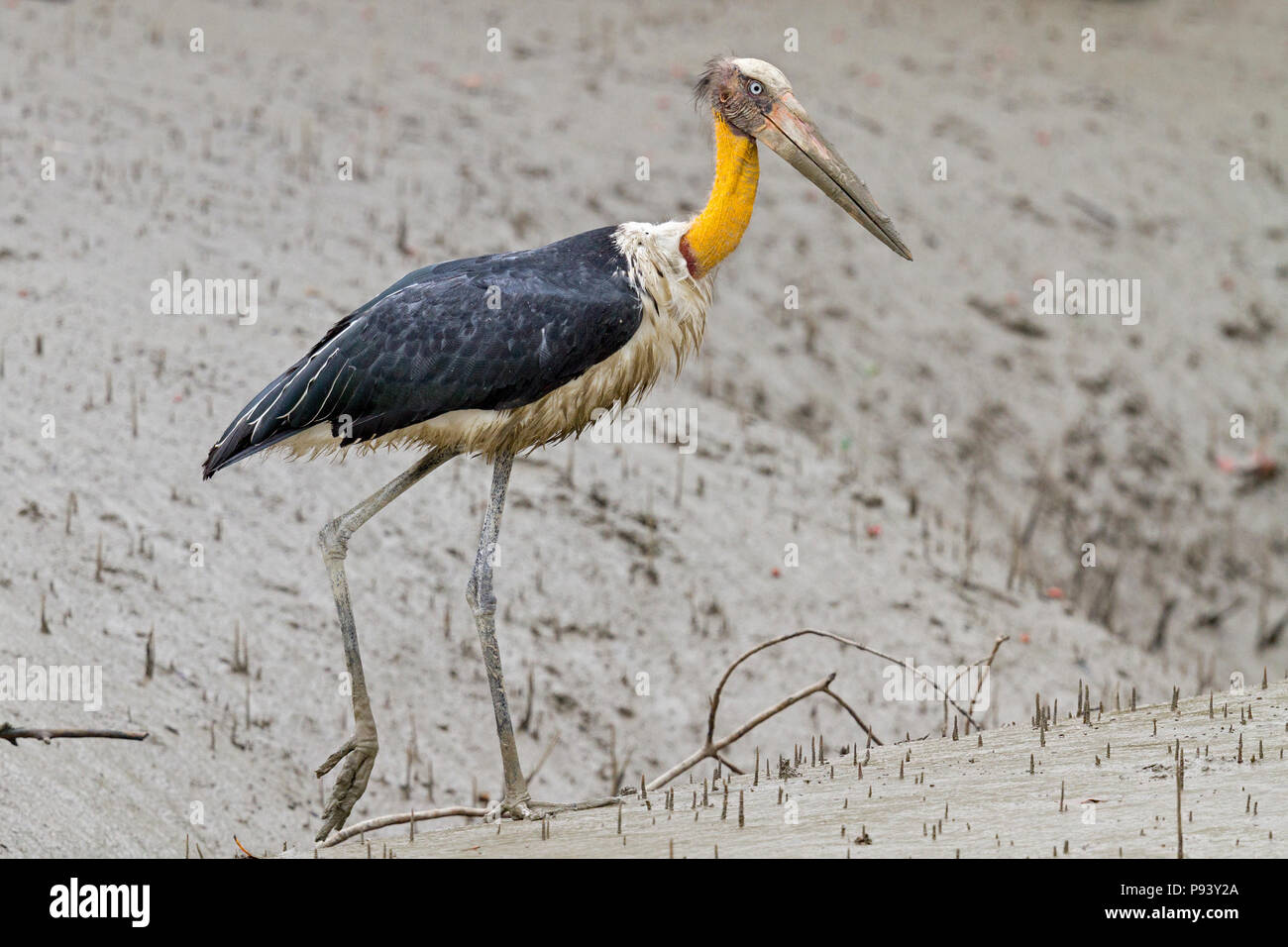 Lesser adjutant or Leptoptilos javanicus threatened species in Sunderbans national park India - Stock Image