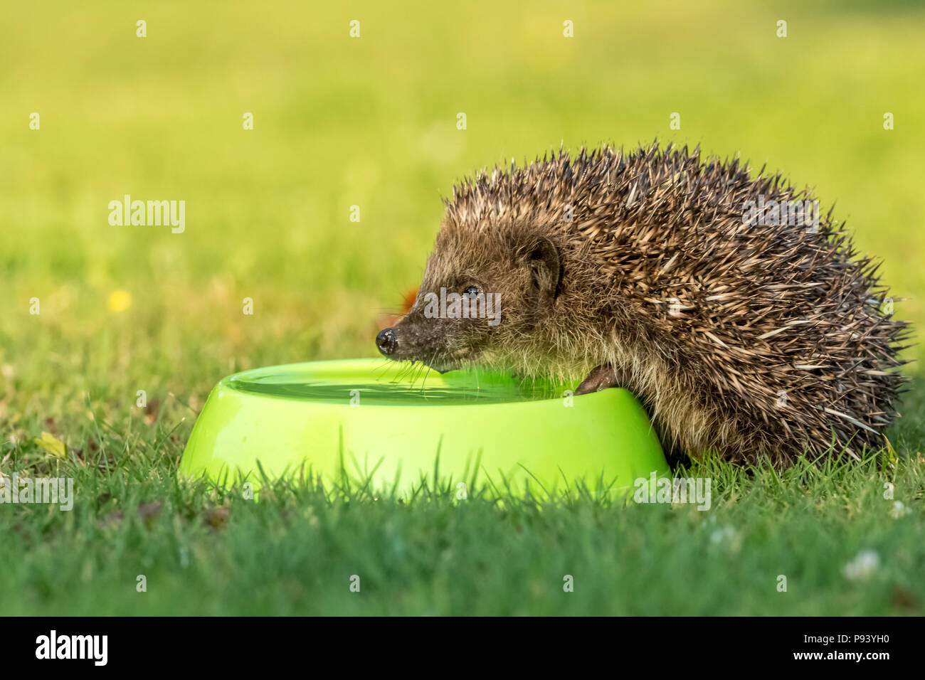 Hedgehog, wild, native, European hedgehog with green water bowl during hot weather in UK.  Landscape.  Scientific name: Erinaceus Europaeus - Stock Image