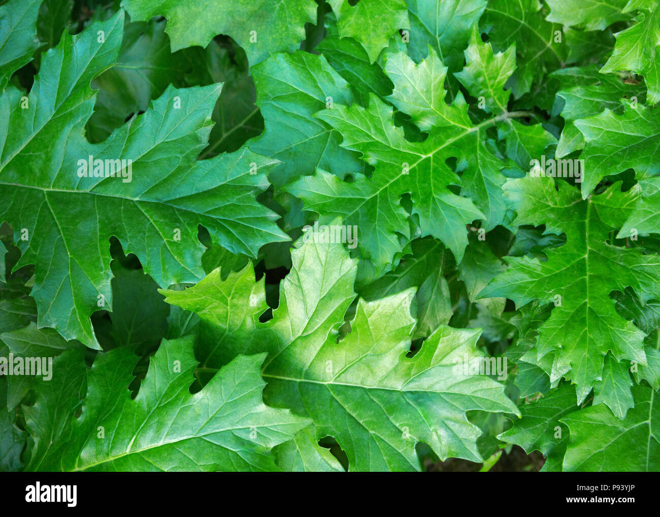 Green background with  Acanthus  leaves. - Stock Image