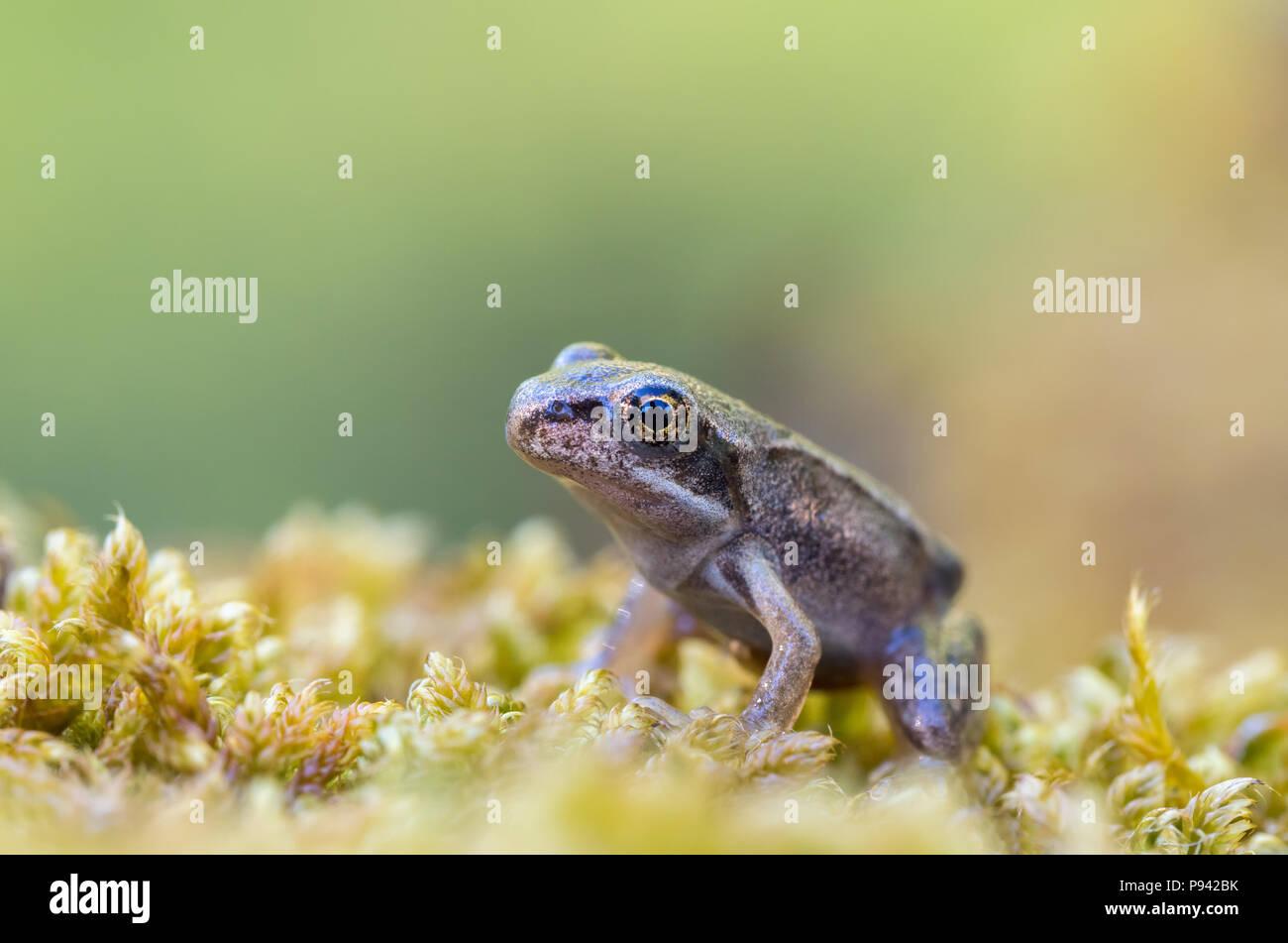 Baby Frog - Stock Image