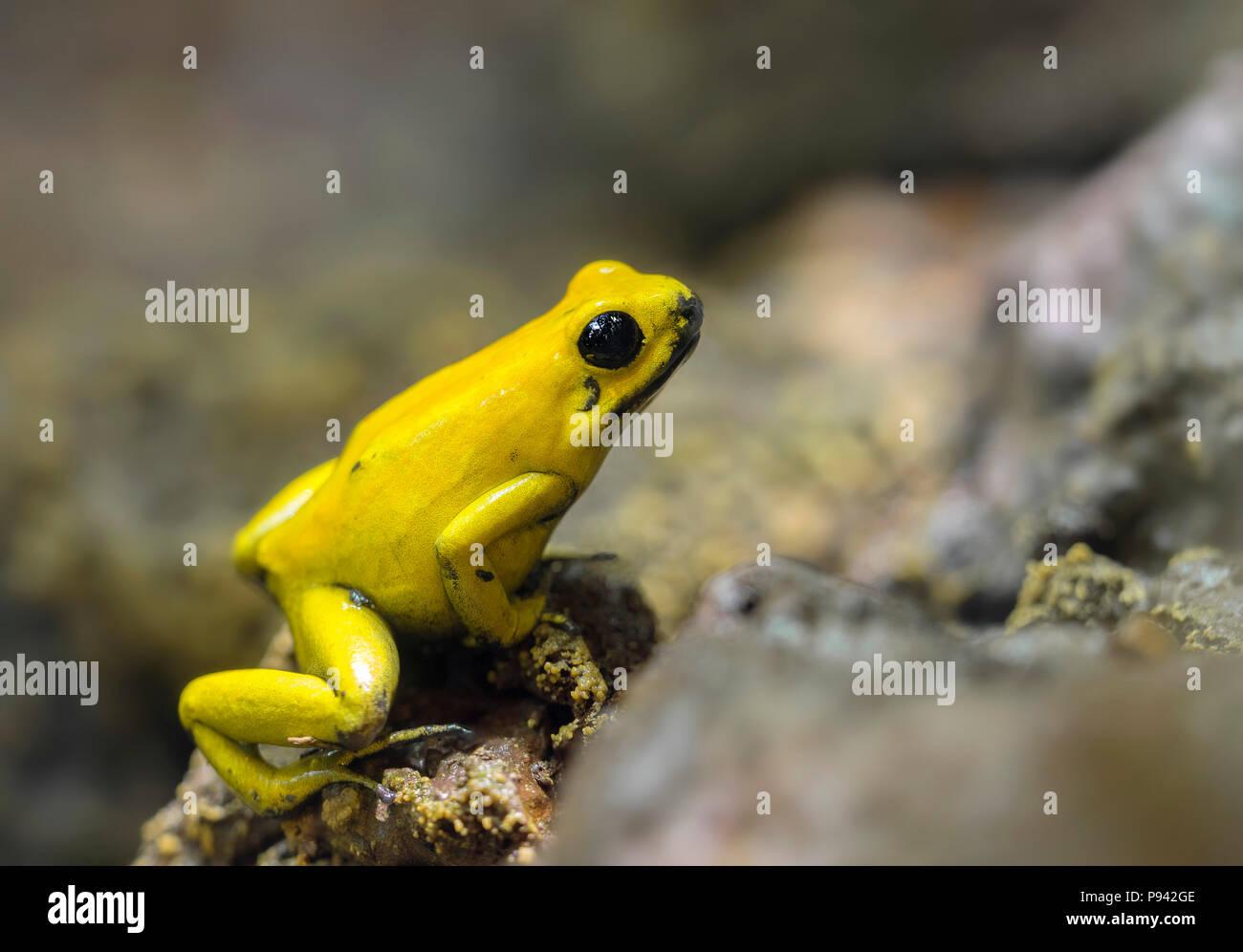 Golden poison frog - Stock Image