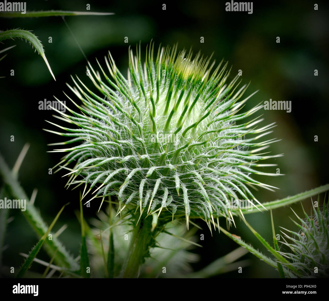 Cirsium vulgare, spear thistle in a park - Stock Image