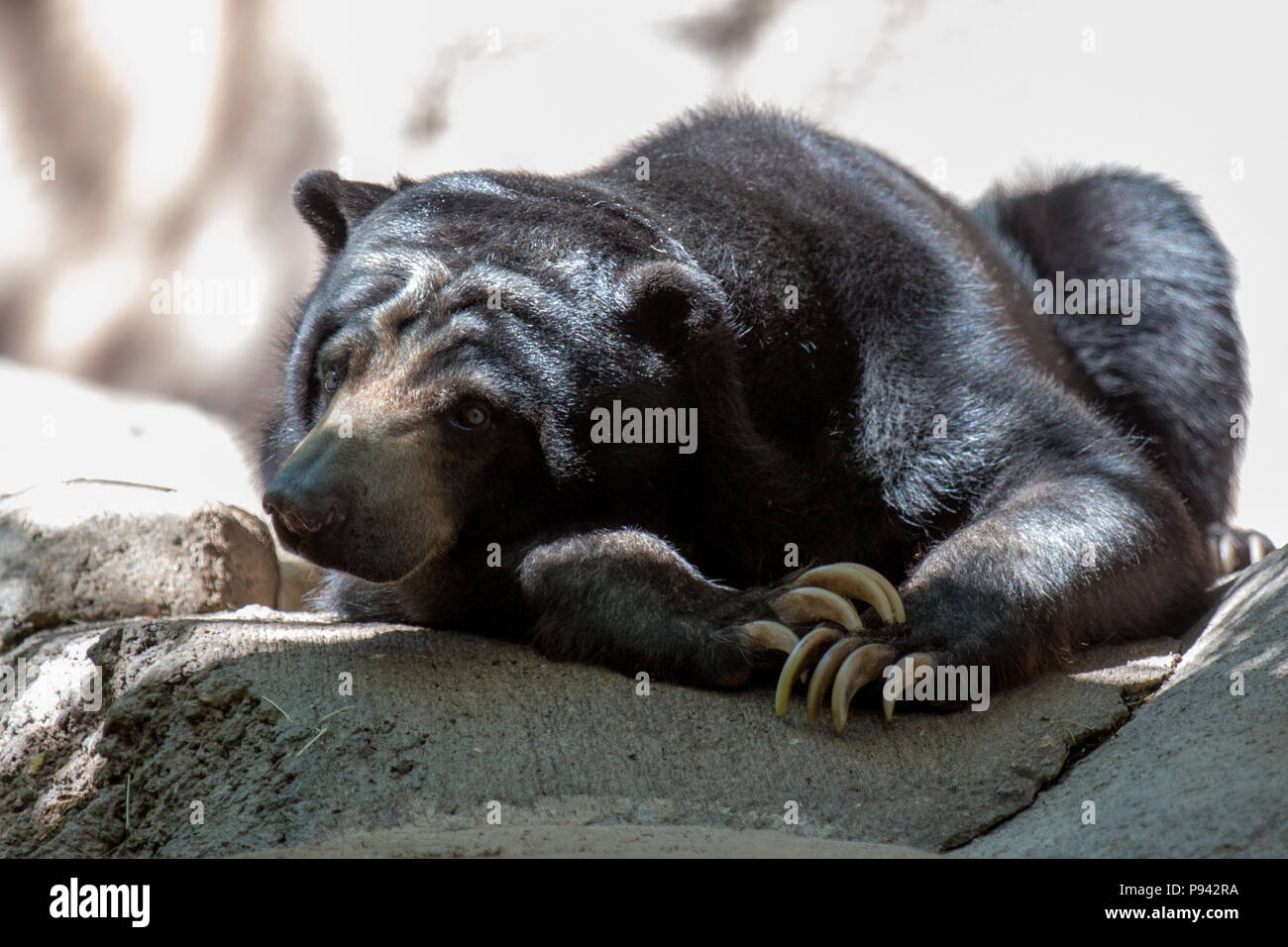 Black Burman bear resting in shade on a sunny day - Stock Image