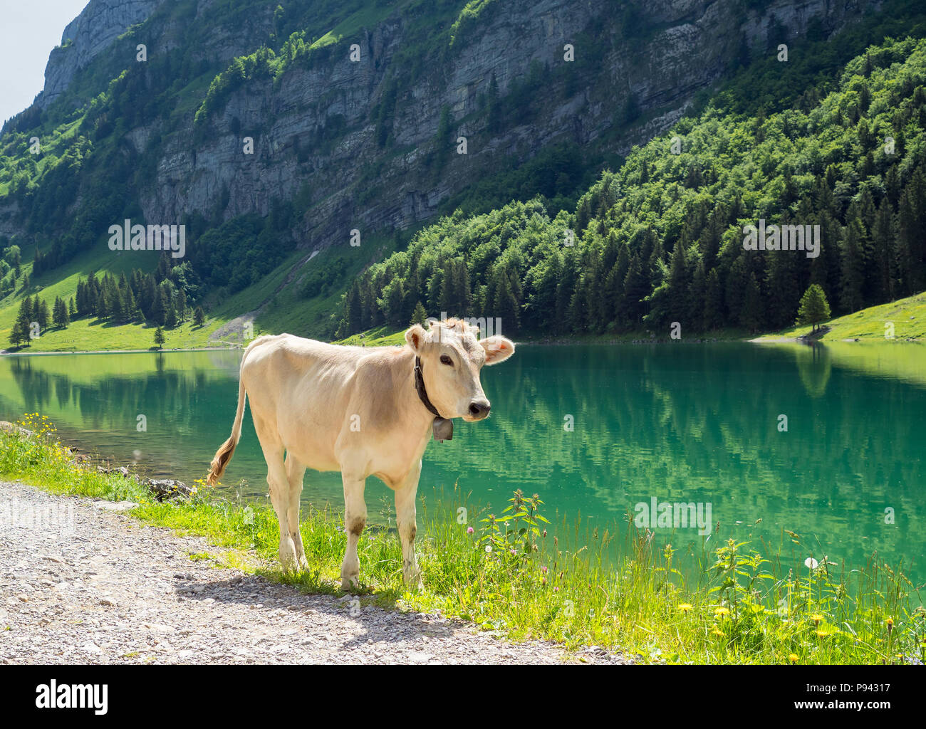 Little calf at Seealpsee Stock Photo
