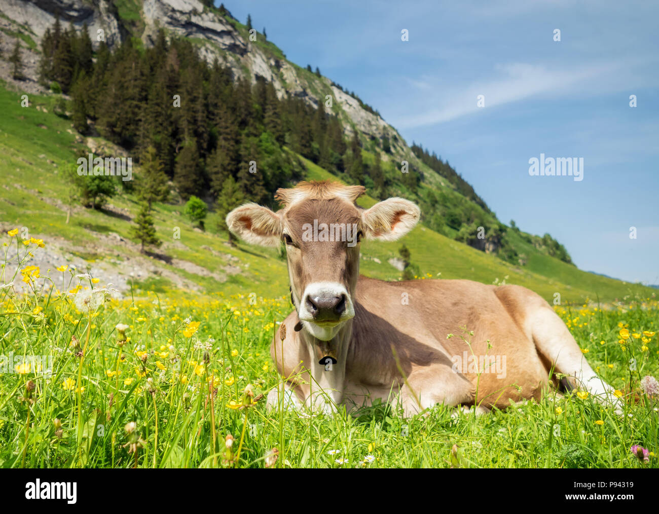 Young calf in Appenzell Switzerland Stock Photo