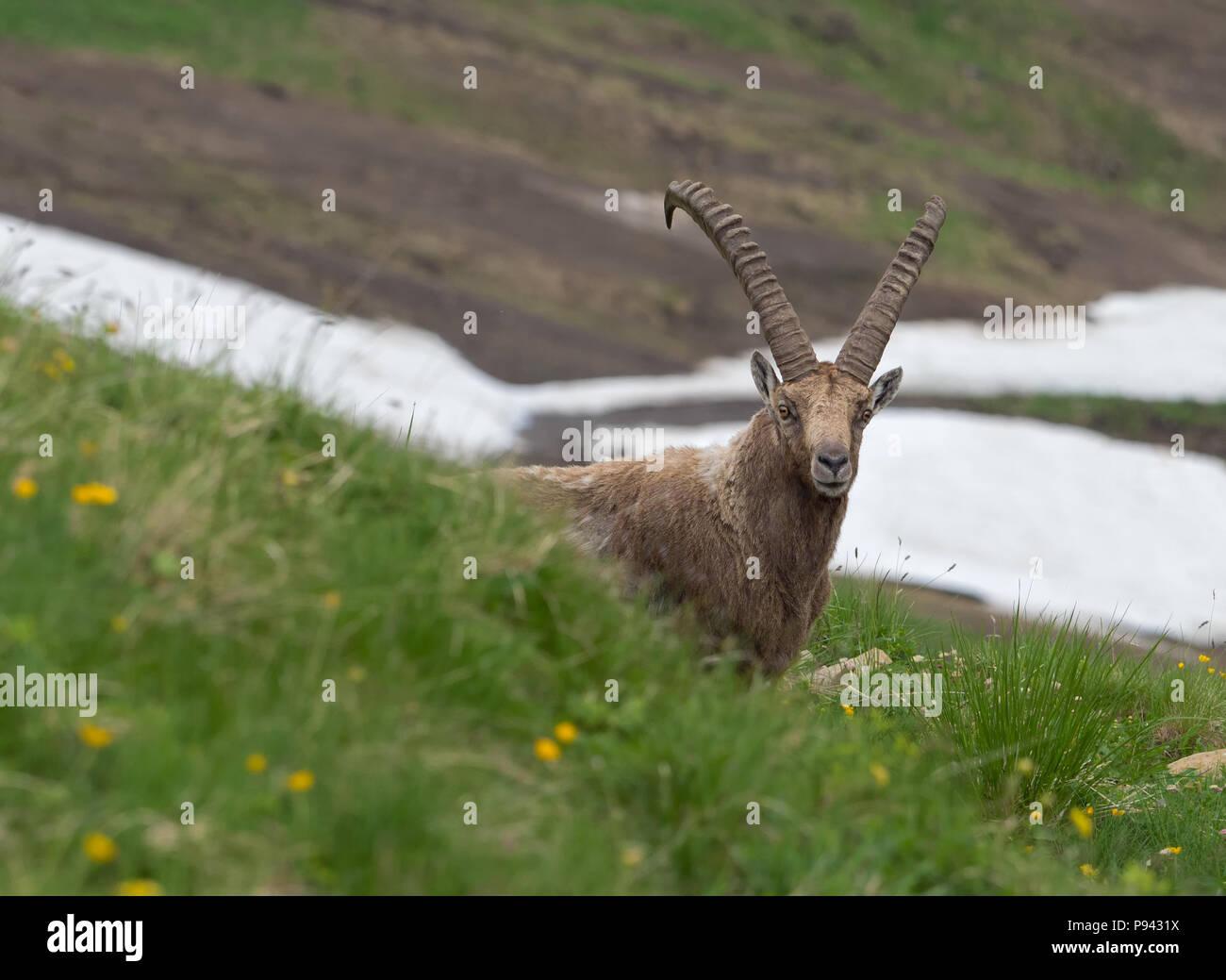 Ibex at Brienzer Rothorn Stock Photo