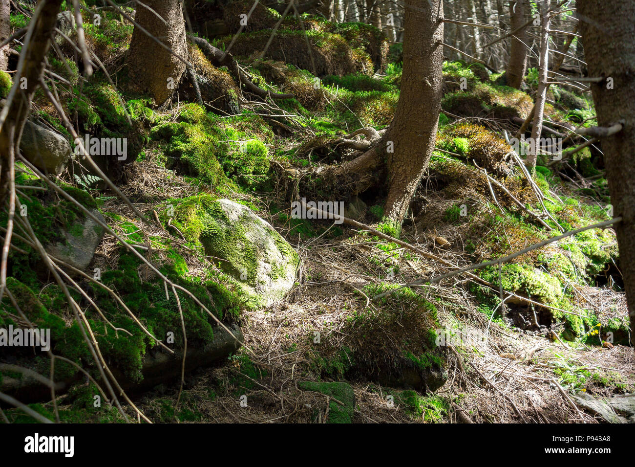 Photo of mystical forest in the mountains. Close-up view of tree roots, stones and moss. - Stock Image