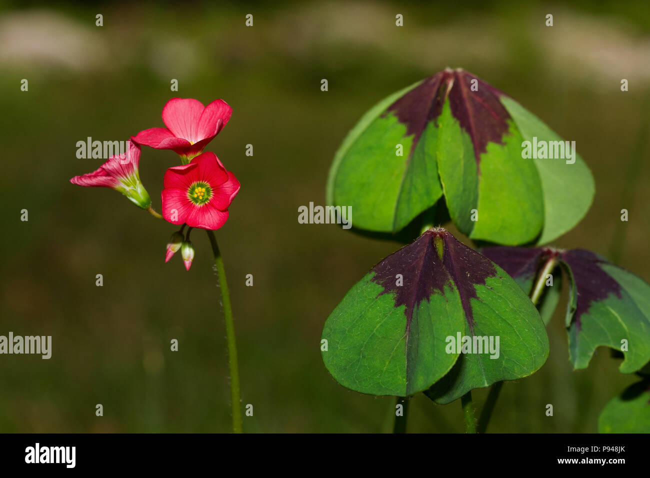 Leaves and flowers of Iron Cross plant, also known as Four-leaved pink-sorrel Stock Photo