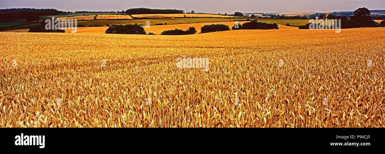 Panoramic view of a ripe wheat field in the Rutland English countryside - Stock Image