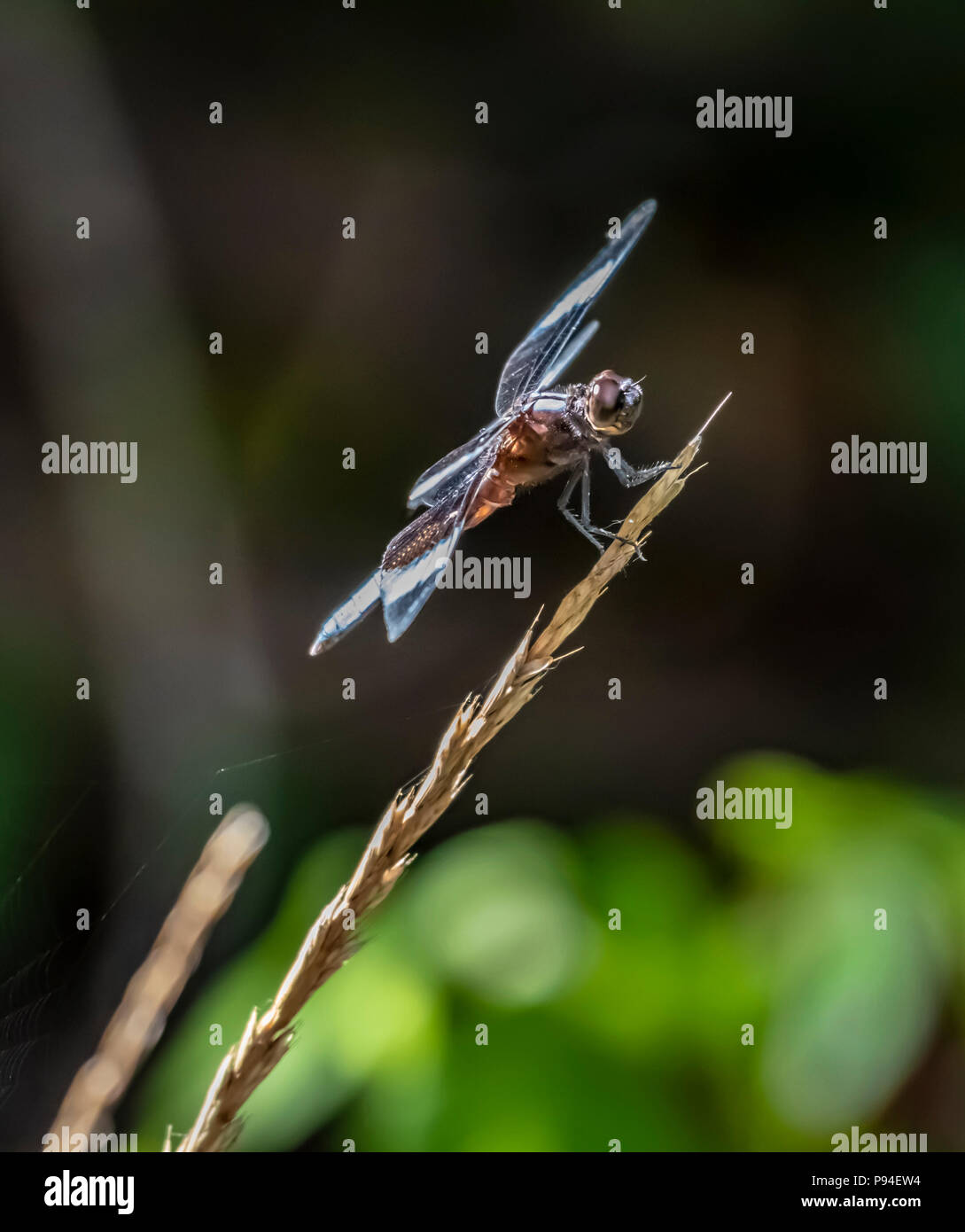 A dragonfly known as the slaty skimmer, Libellula incesta, alights on a weed, isolated against a mostly dark, out-of-focus background. Stock Photo