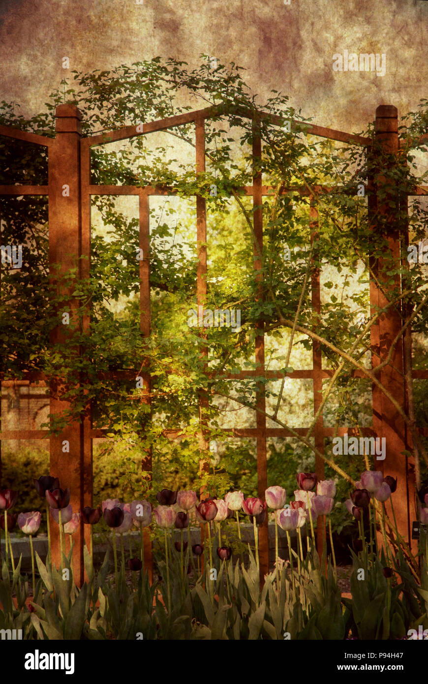 Victorian Style Or Vintage, Romantic Outdoor Garden Backdrop Or Background  Scene With Wooden Fence, Vines And Tulips.