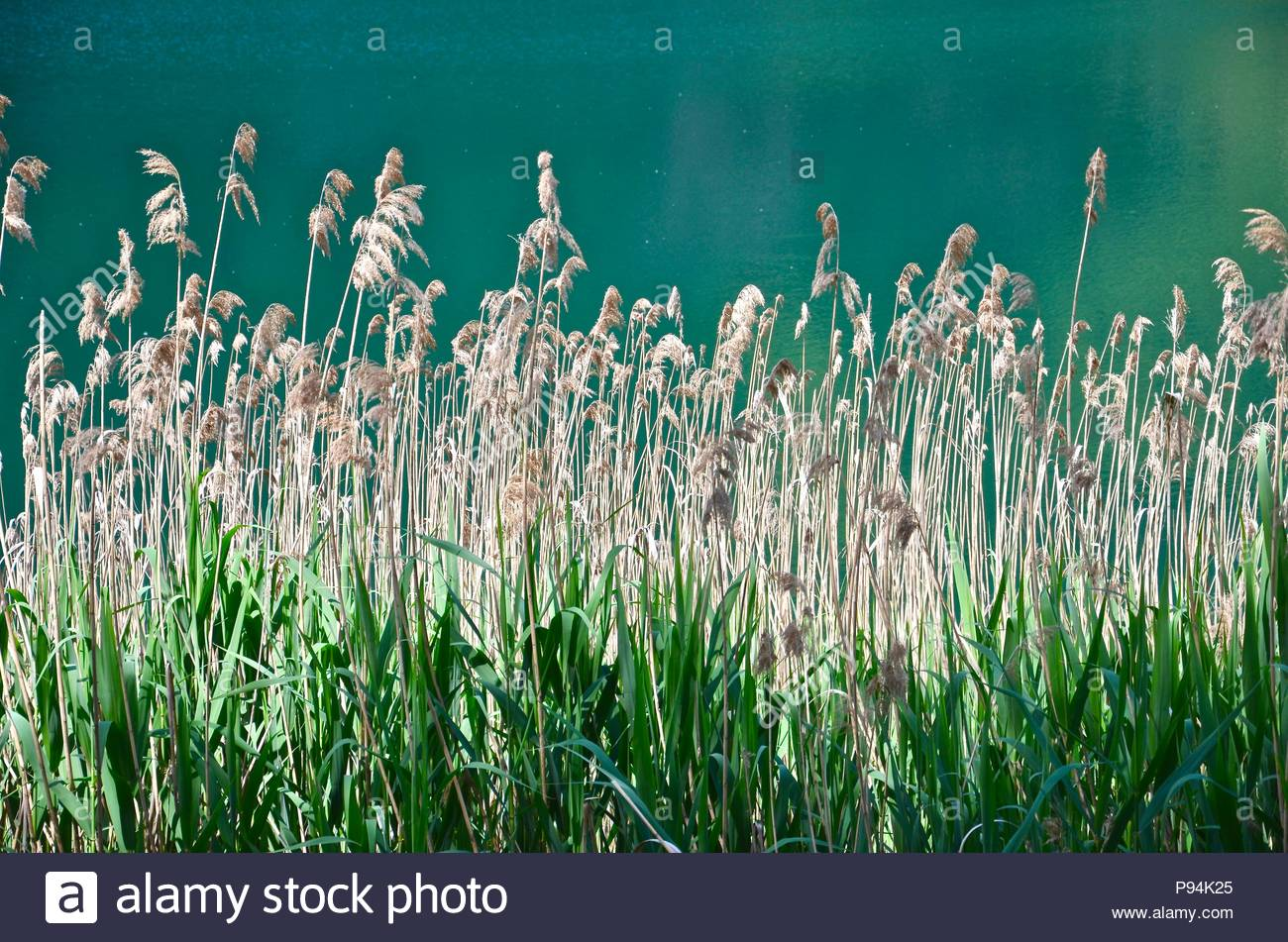 Reed at emerald colored lake Lago d'Iseo in Italy, Lombardy, natural landscape, beautiful, travel, nature - Stock Image