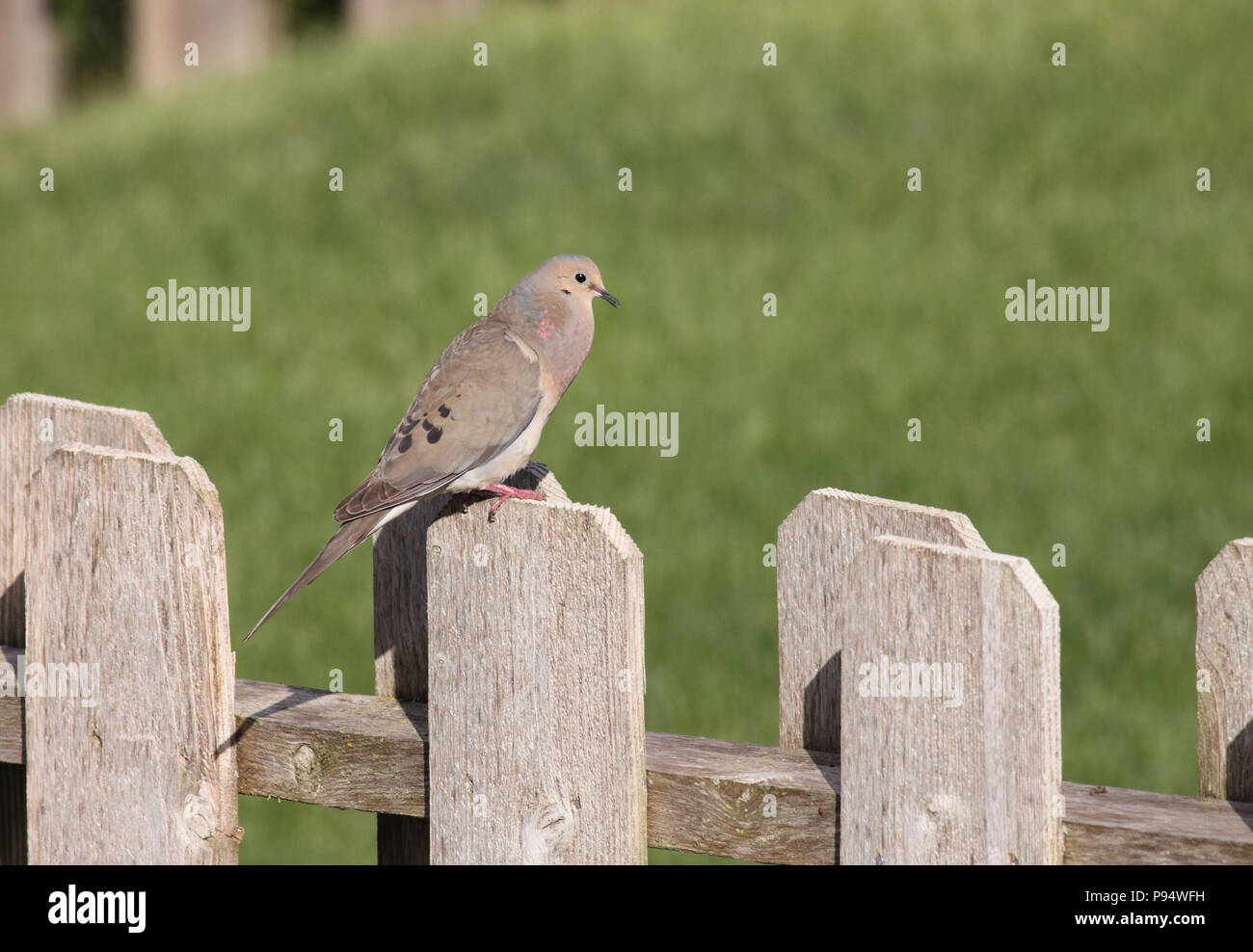 Mourning Dove on wooden fence post, taken in South Dakota, USA - Stock Image
