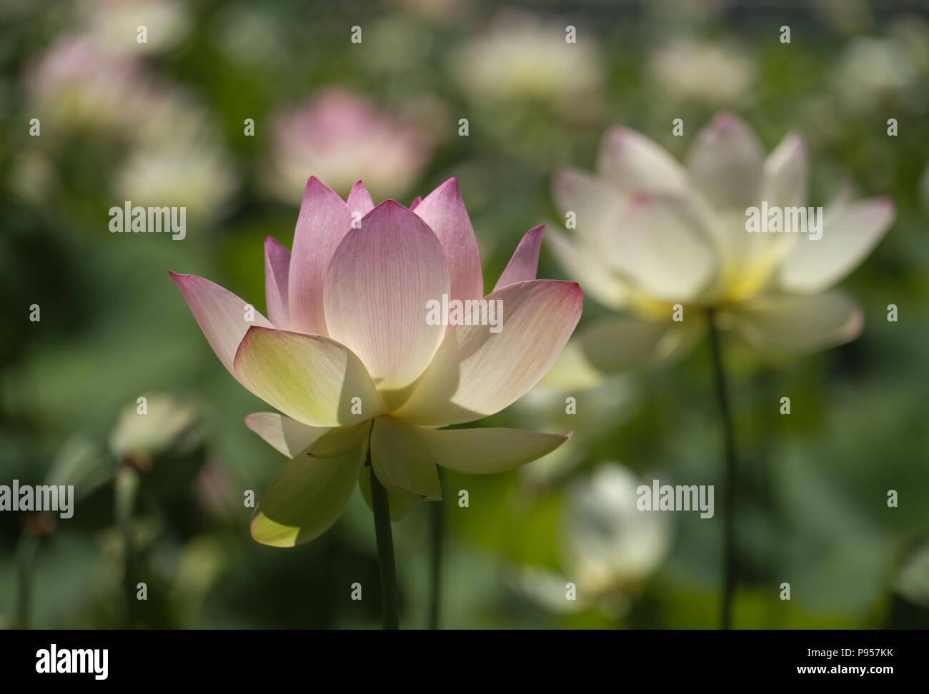 Los Angeles California Usa 14th July 2018 Lotus Flowers Bloom