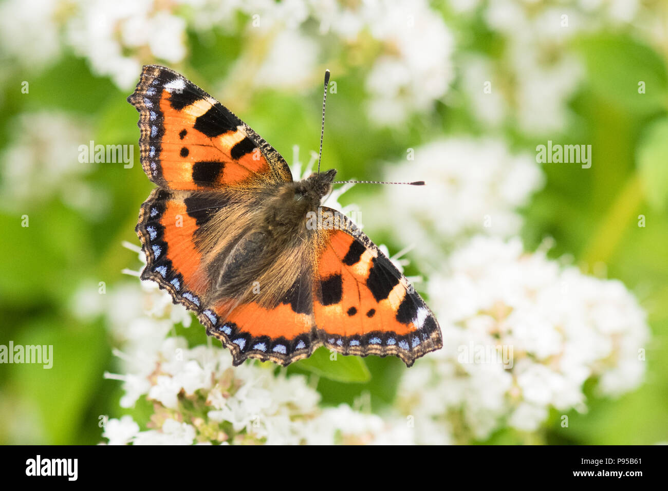 small tortoiseshell butterfly (Aglais urticae) feeding on white marjoram plant flowers in uk garden - Stock Image