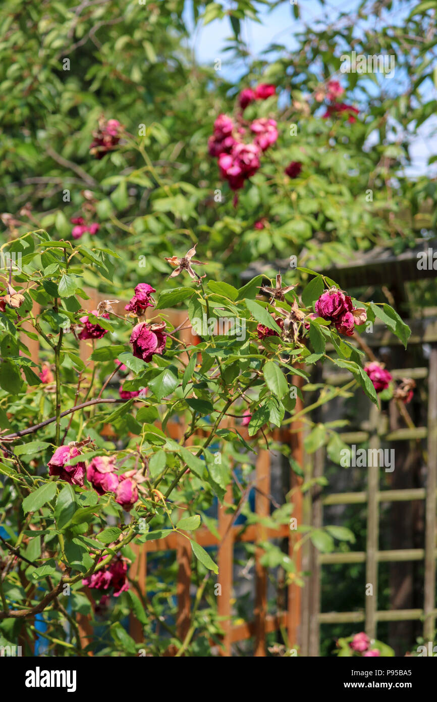 A Rose Bush Is Covered In Dead Pink Flowers On A Searing Hot Day