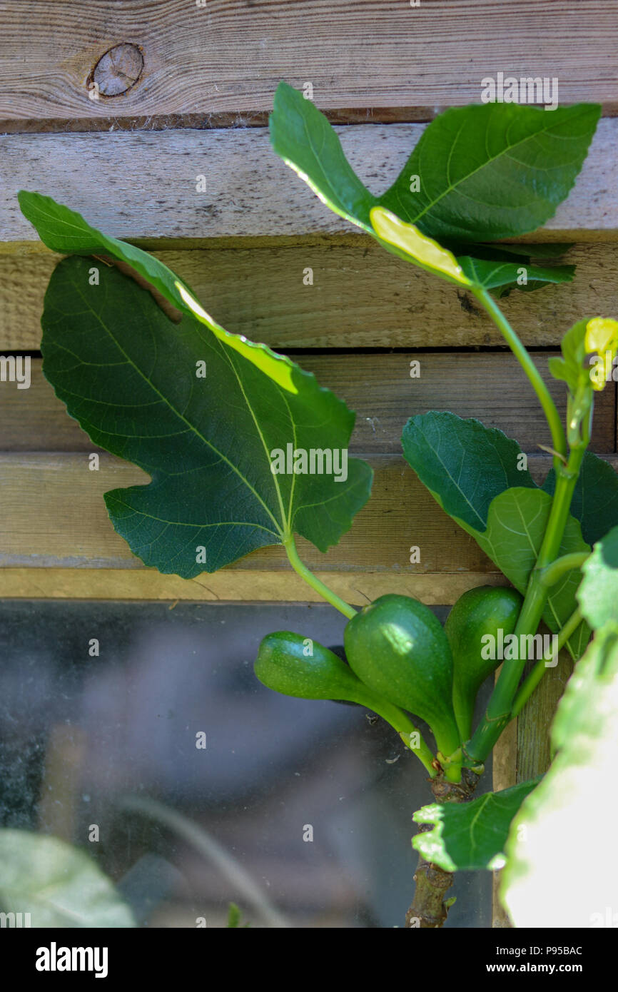Figs swell on a tree growing against a sunny wood-framed window in a North Devon garden. - Stock Image