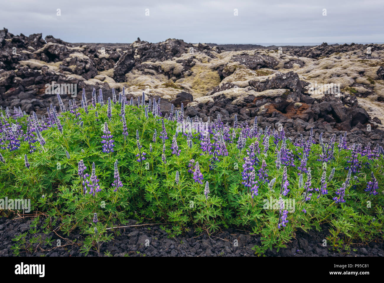 Lupine flowers next to lava field covered with moss on a Reykjanesskagi - Southern Peninsula in Southwest Iceland - Stock Image