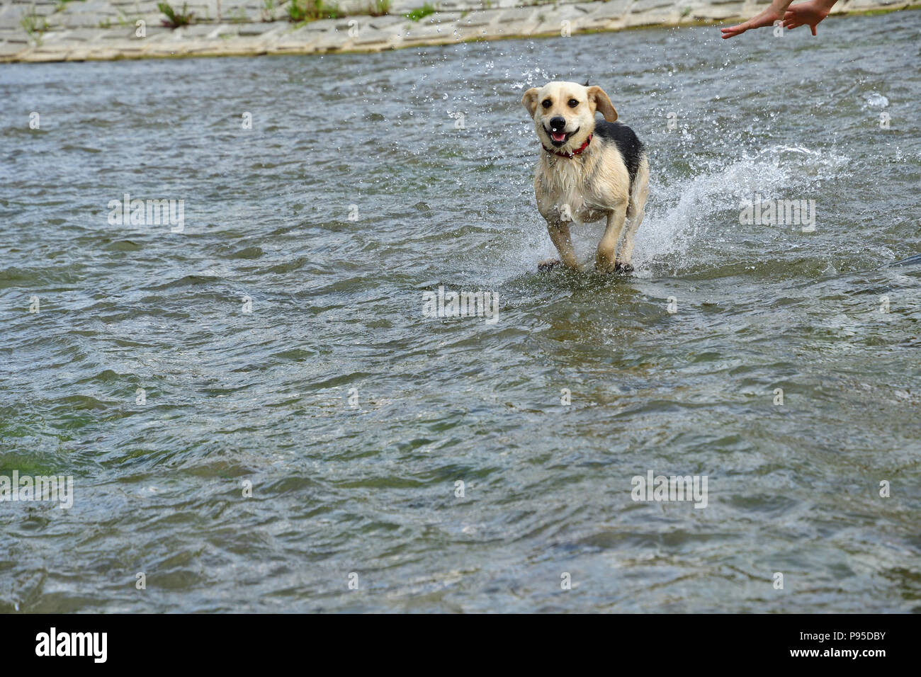 Dog to refresh in water during hot summer jumping in the river - Stock Image