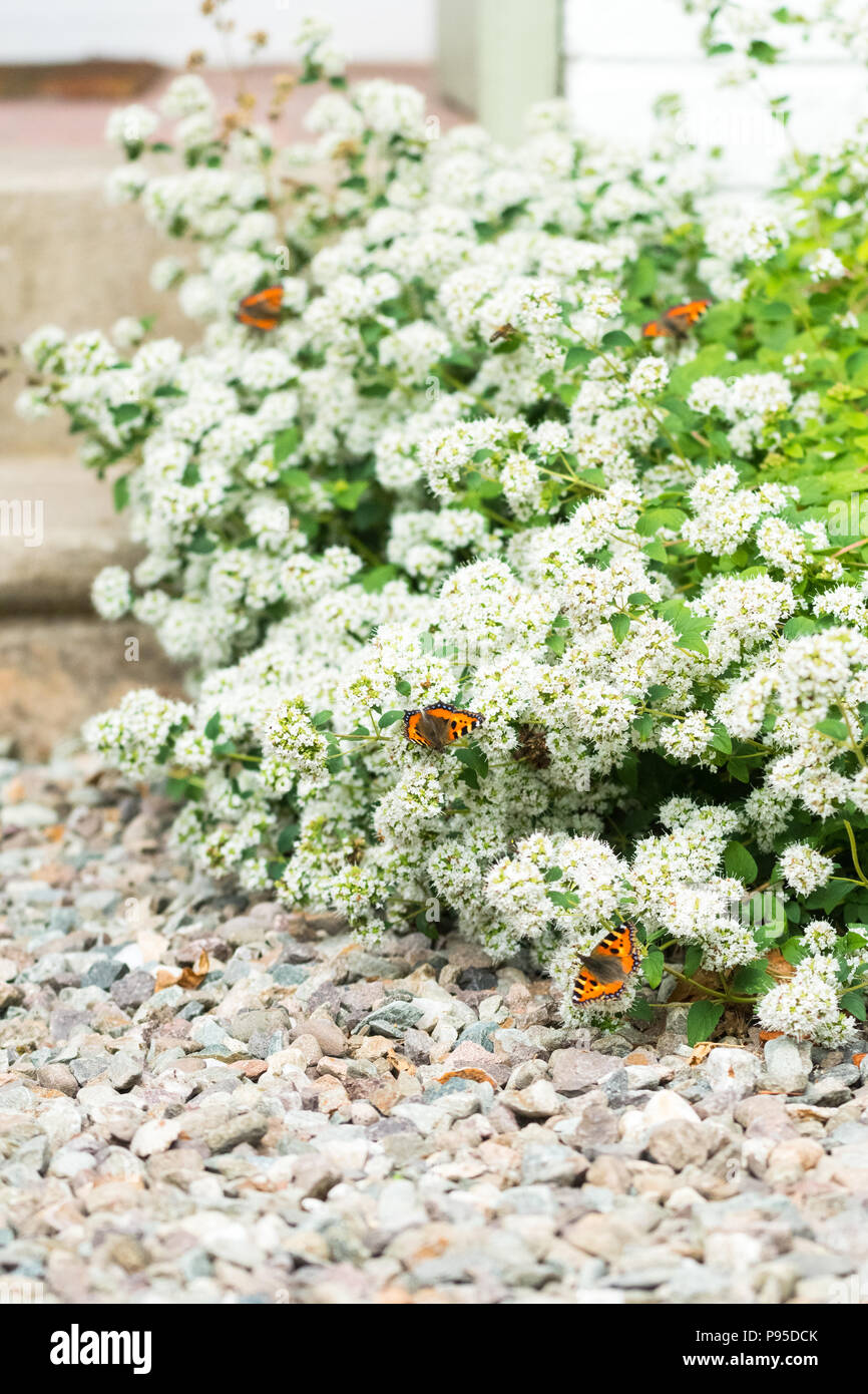 small tortoiseshell butterflies (Aglais urticae) feeding on white marjoram in UK garden - Stock Image