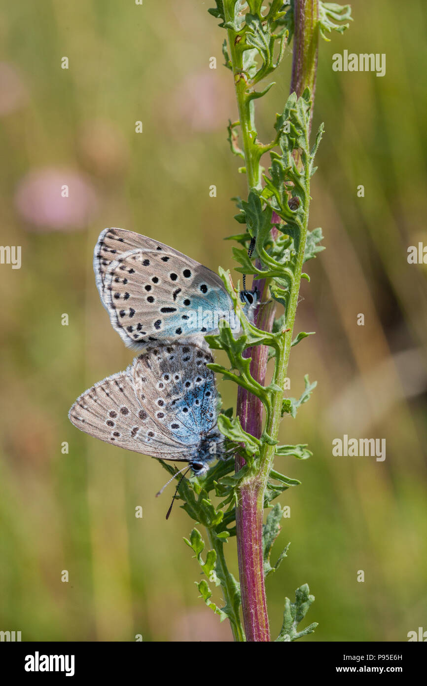 Large blue butterfly Maculinea arion on Collard Hill Somerset after its successful  reintroduction in the mid 1980s after becoming extinct in 1979 - Stock Image