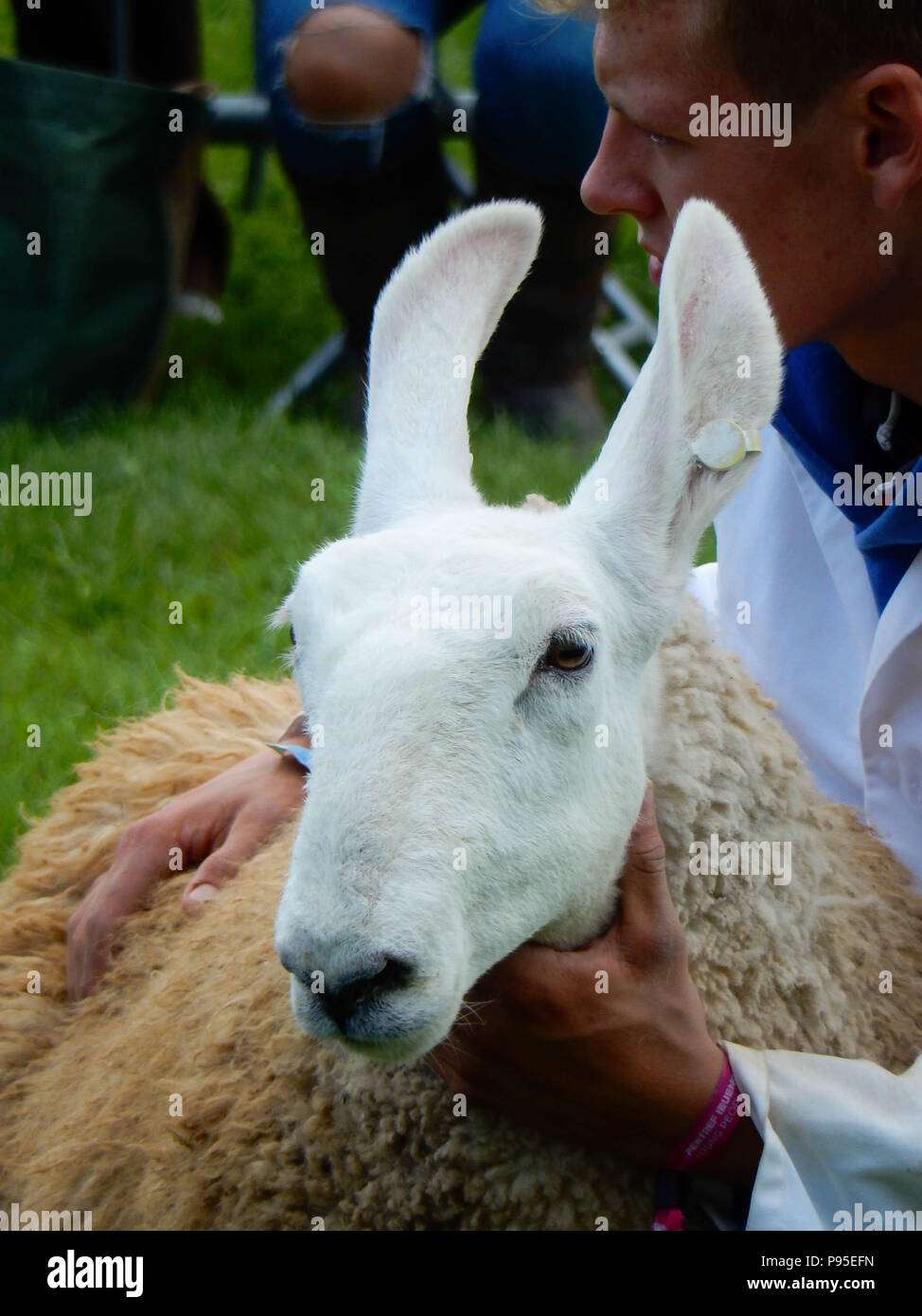 Close up of a long eared sheep in the judging ring on the showground at the Royal Welsh Show. The show is one of Europe's biggest agricultural events. - Stock Image