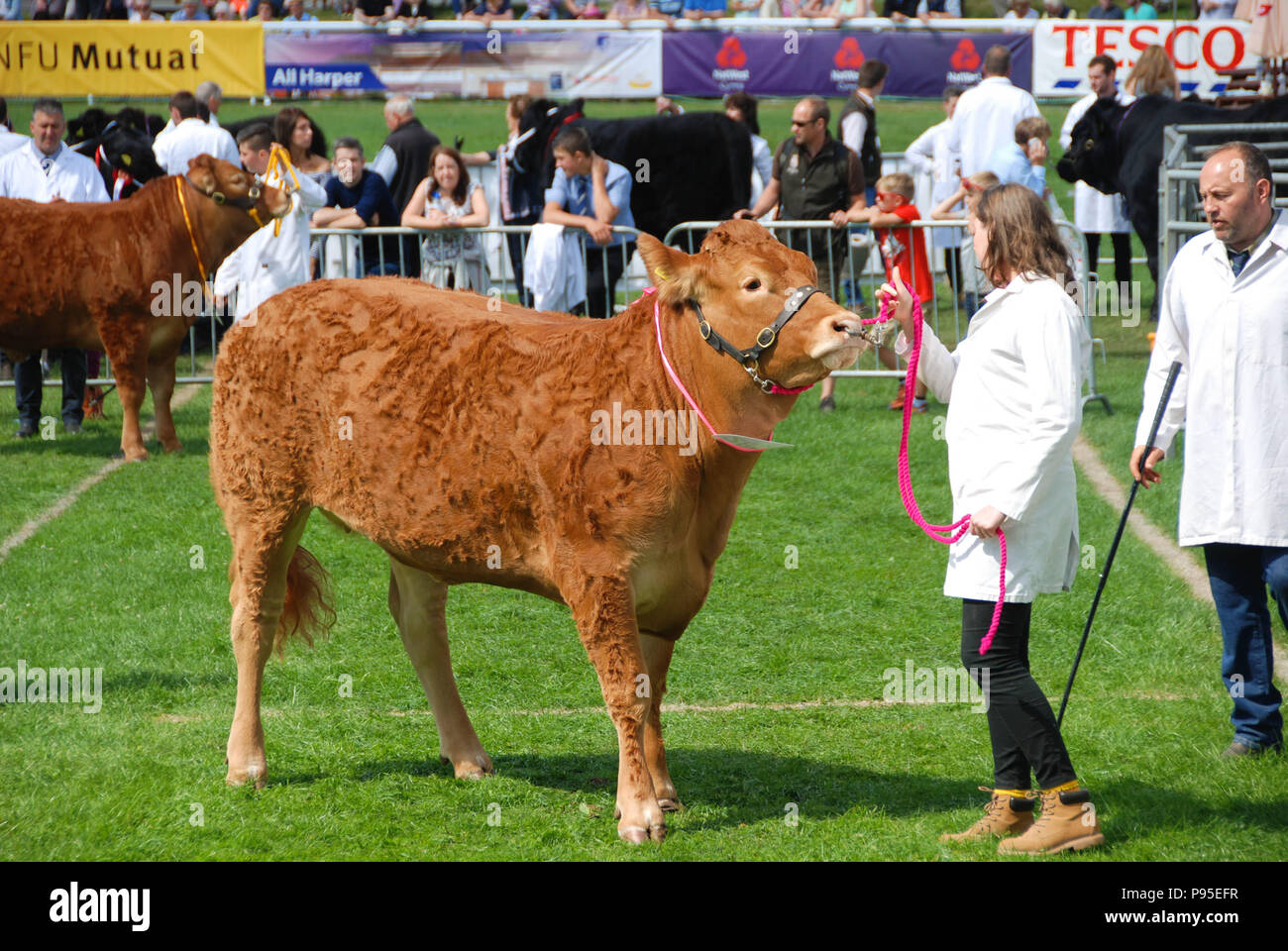 Bull with its handler in the judging ring on the showground at the Royal Welsh Show. The show is one of Europe's biggest agricultural events. - Stock Image
