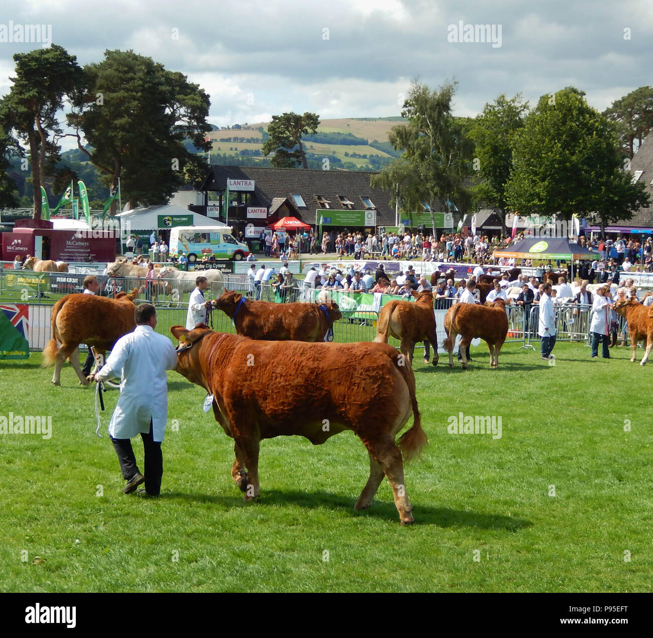 Beef cattle being judged on the showground of the Royal Welsh Show in Builth Wells, Wales. It is one of Europe's biggest agricultural events - Stock Image