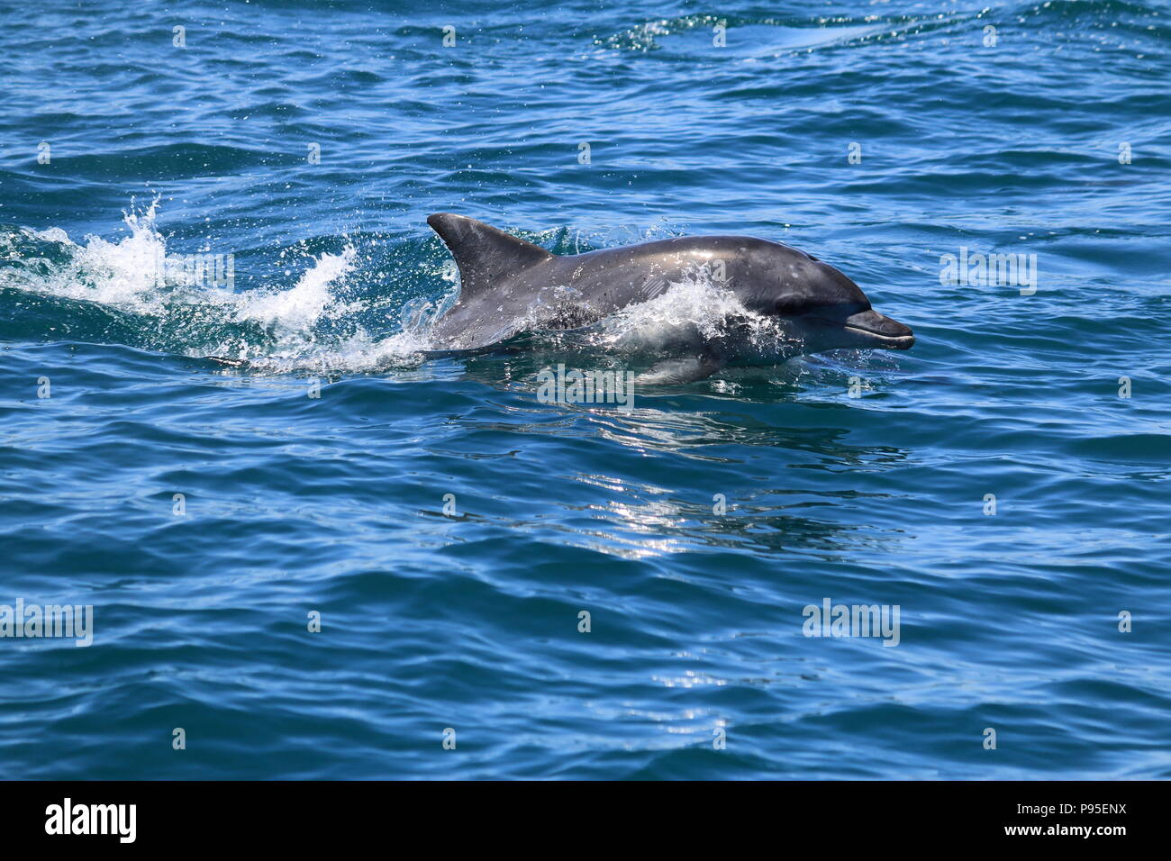CapeTown Dolphin - Stock Image