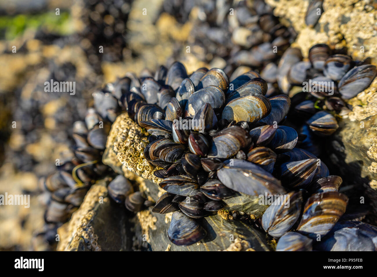 Live blue mussels (Mytilus edulis) on a rock in North Cornwall on the Atlantic Ocean Coast during summer 2018 (July), Cornwall, Enland, UK - Stock Image