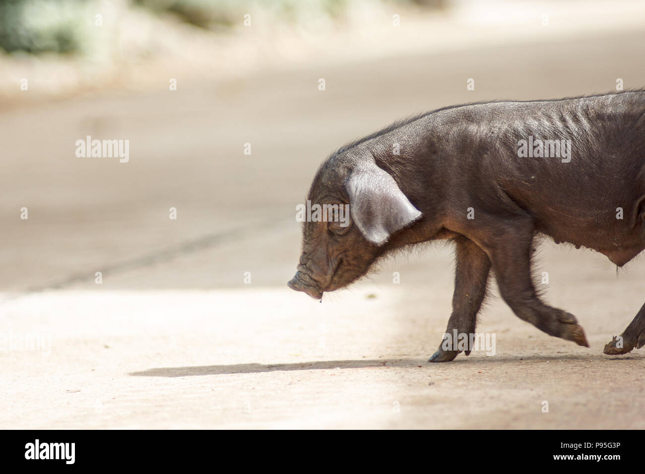 The boar is walking on the ground. - Stock Image