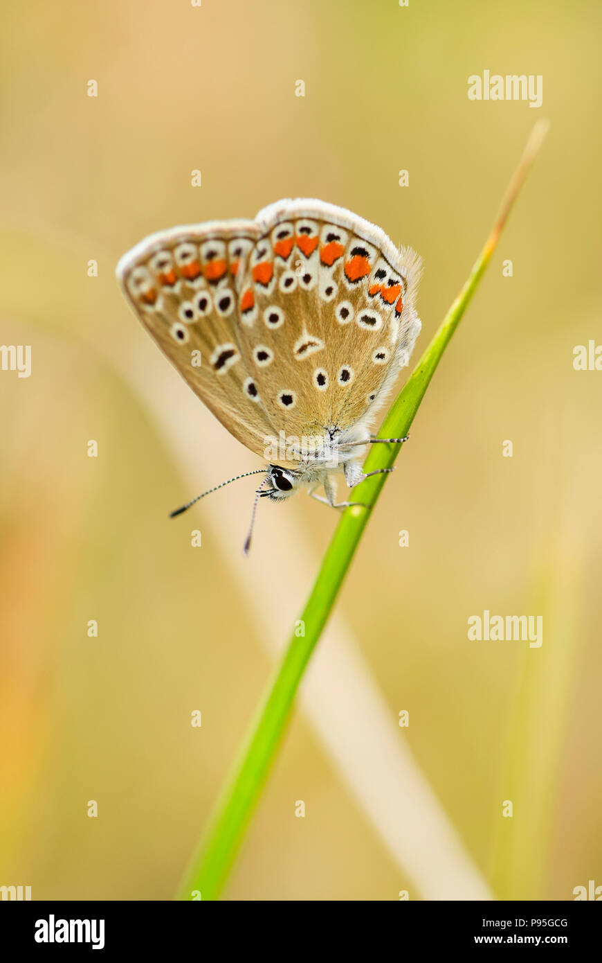 Common Blue butterfly - Polyommatus icarus, beautiful colored buttefly from European meadows and grasslands. - Stock Image