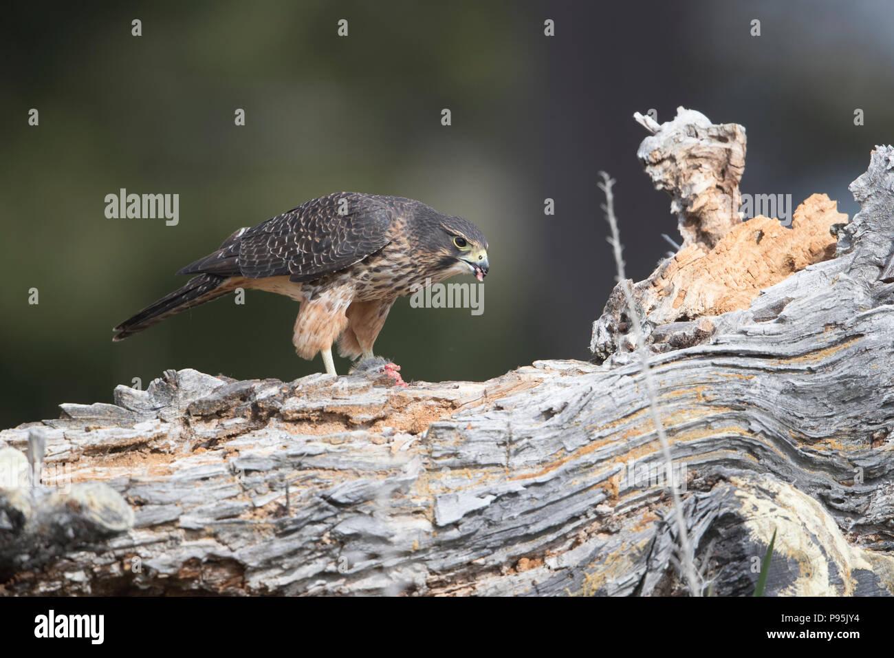 New Zealand Falcon, eating prey, South Island, New Zealand - Stock Image