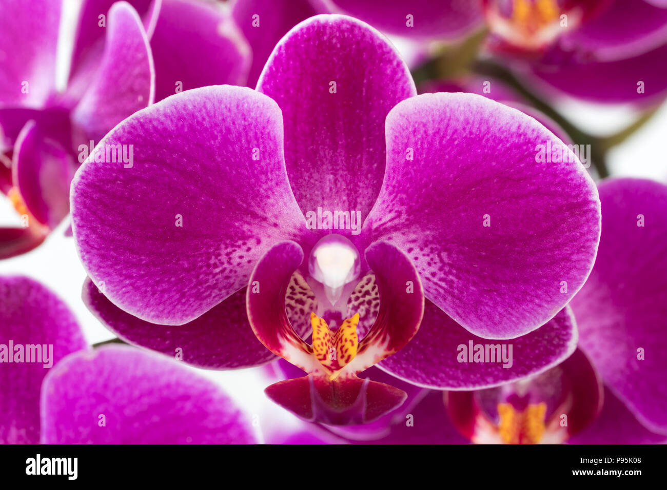 A closeup macro zoom shot of a magenta coloured moth orchid flower (Phalaenopsis) showing its beautiful details - Stock Image