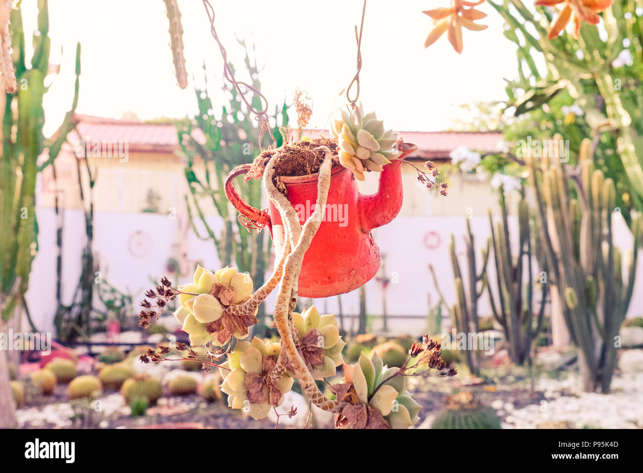 Close Up Succulent Plants In Suspended Old Vintage Red Watering Can As Flower Pot In A Cactus Garden Outdoor Decoration Flower Pot Design Trendy Stock Photo Alamy