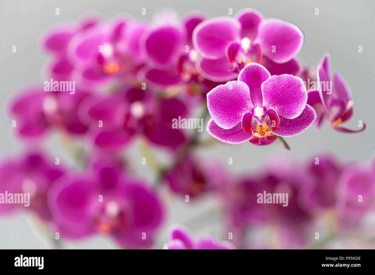 A tight focus on a magenta coloured moth orchid with progressively out of focus flowers behind giving a pleasing out of focus effect - Stock Image