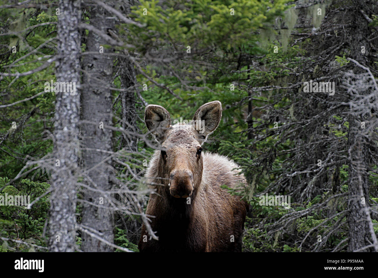 Wildlife Moose Calf Travelogue Travel Newfoundland Canada Landscapes And Scenic