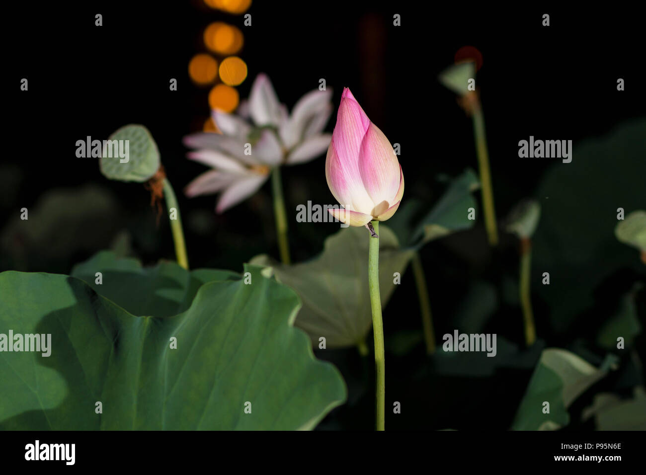 Lotus Flowers In The Night Stock Photo 212182726 Alamy