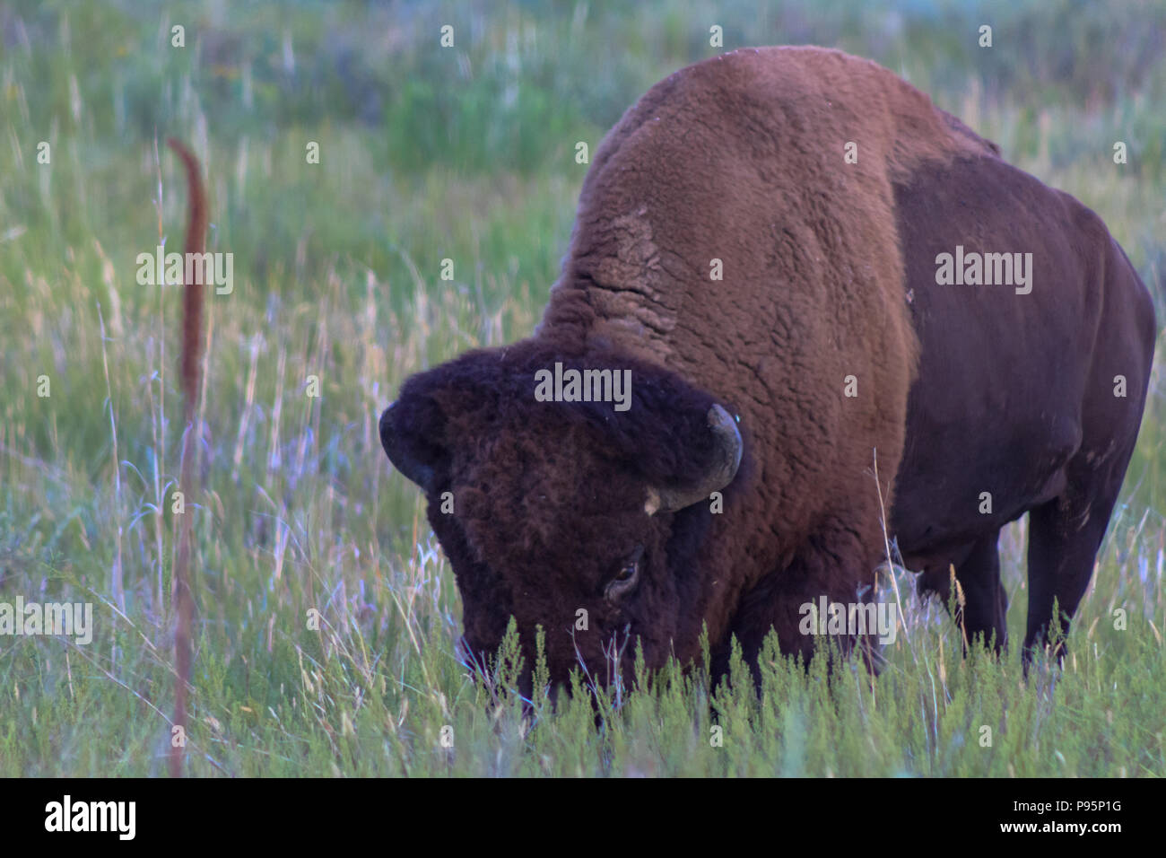 Bison grazing grass on the prarie keeping a watchful eye open. - Stock Image