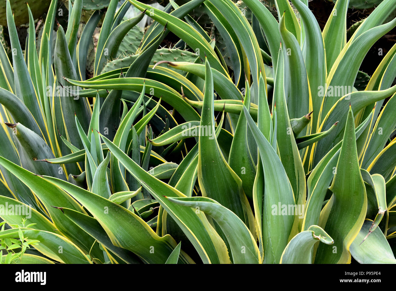 Image Of Succulent Plant Variegated Dwarf Agave Stock Photo