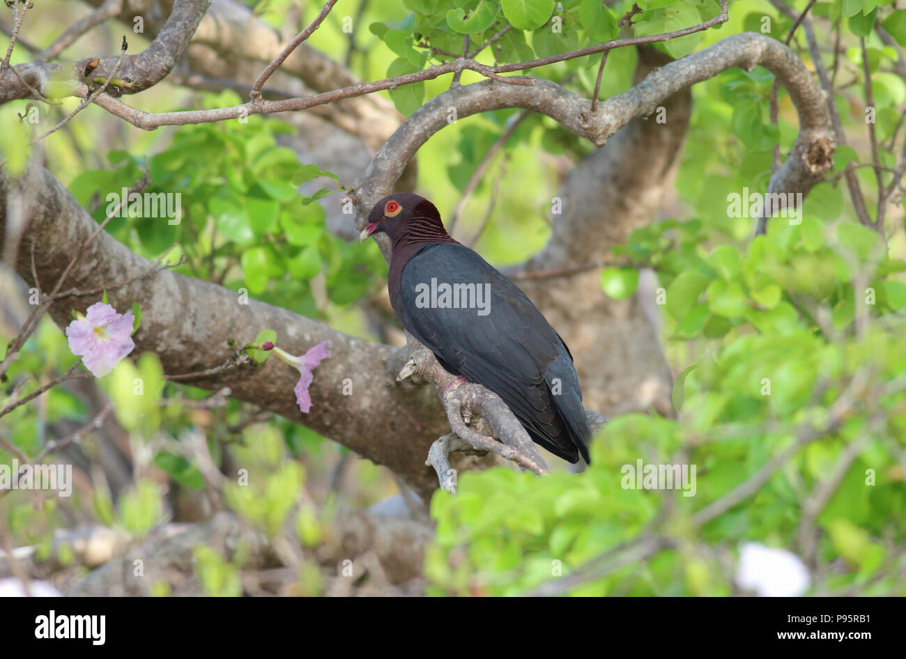 Scaly-naped Pigeon, taken on St. John's in the US Virgin Islands - Stock Image