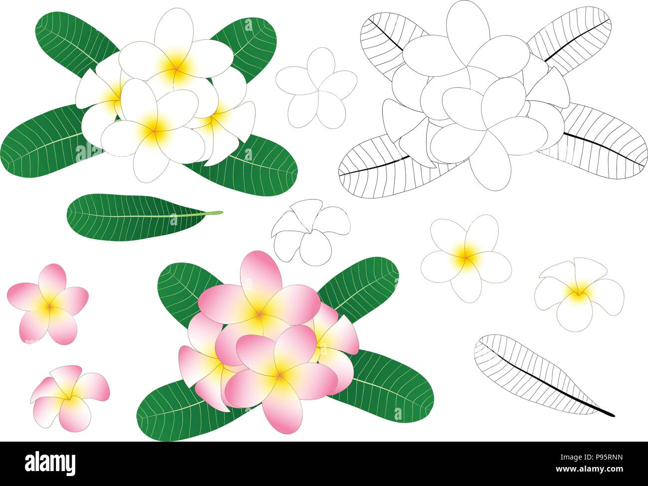 White and Pink Plumeria, Frangipani Outline isolated on White Background. Vector Illustration. - Stock Vector