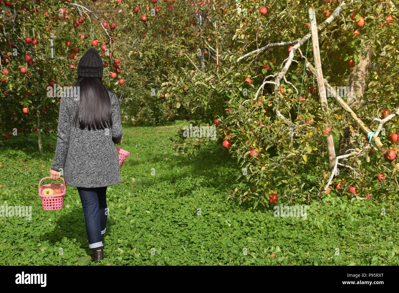 Havesting in Fall Season Concept. Back side of Farmer Woman with Basket walking into the Apple Orchard for Picking Fruits - Stock Image